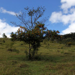 Árvore Frutífera